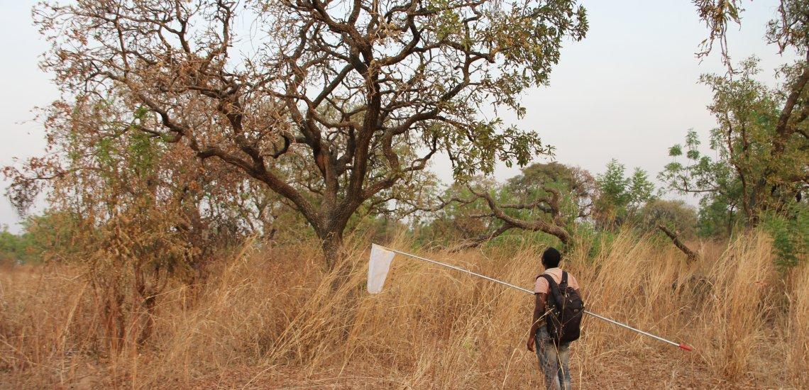 Sweep-netting to identify shea pollinators. Photo © J Stout